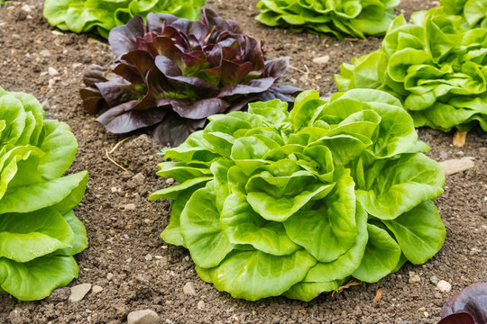 closeup of green and purple loose leaf lettuce growing in vegetable garden