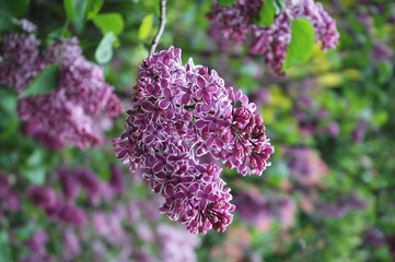 Branch of lilac purple.