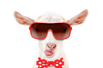 Portrait of funny white goat in a sunglasses and bow tie, showing the tongue, isolated on white background