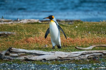 King penguin (Aptenodytes patagonicus) walks on the shore of the Island in Beagle Channel, Argentina