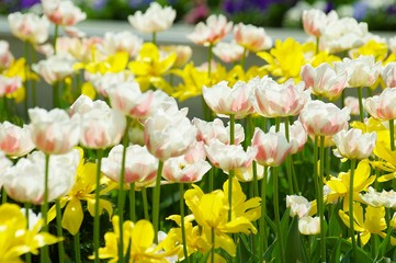 Flowering plant in nature. Tulip flowers white with pink.