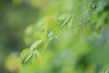 Green leaves of tamarind in the garden for design nature background in you work.