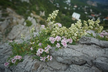 Flowering plant in nature. the flowers of wild plants growing on the rocks. Petals pink