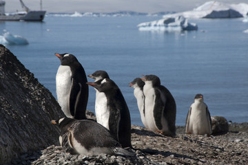 Brown Bluff Antarctica, gentoo penguins on beach with boat in background