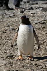 Brown Bluff Antarctica, single adult gentoo penguin