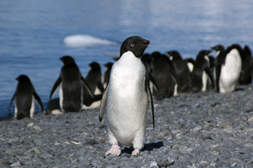 Brown Bluff Antarctica, adelie penguin on beach with water in background