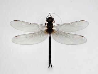 Black dragonfly on white background