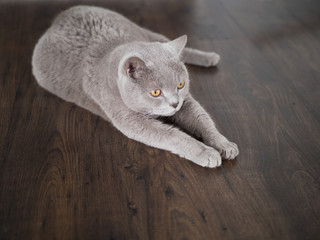 large gray cat of British breed lying on the floor