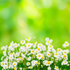 Bright green summer background with daisies flowers