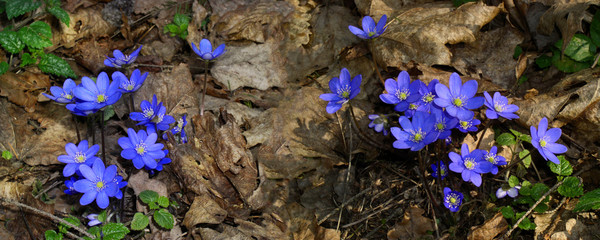 Spring background with Hepatica flower in forest