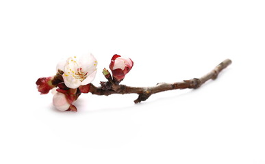 Pink apricot flowers blooming with branch isolated on white background