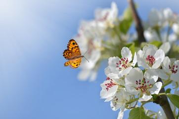 Birnenblüten mit Schmetterling