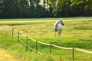 Biały Arabski koń biega po łące o wschodzie słońca.