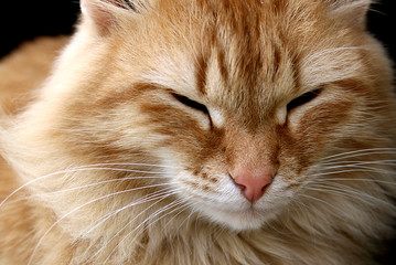modest red cat sits and stares with half-open eyes