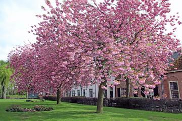 Japanese cherry in full bloom on lawn of church garden