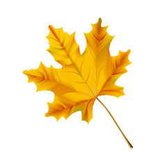 Autumn realistic maple leaf isolated on a white background.