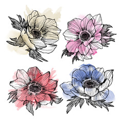 Vintage anemone set. Hand drawn illustration. Great for wedding invitations, birthday, valentines, save the date and greeting cards. Engraved decor element with watercolor spot