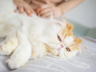 Woman combing a cute fluffy exotic long hair cat with hand on couch, cat laying in sunlight with eyes open and enjoying its comfortable life.