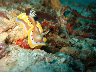 Nudibranchia