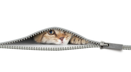 Papier Peint - funny cat behind open zipper isolated on white