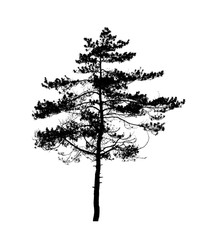 Black pine tree silhouette isolated on white