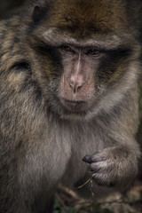 Close-up of Barbary Macacque Monkey Primate