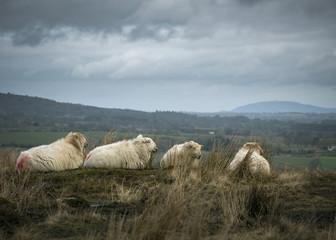 Sheep sitting on rural Pasture land in winter