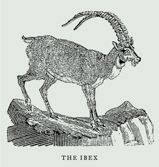 The alpine ibex capra in profile view standing on a rock (after an antique woodcut, engraving, illustration from the 18th century). Easy editable in llayers