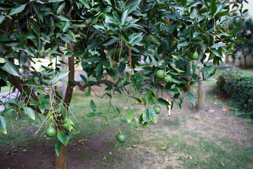lime tree with fruit on branches