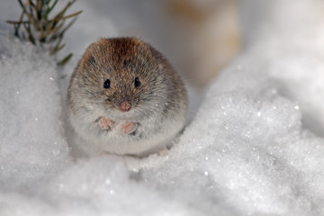 cute field mouse on the white snow in search of food