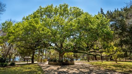 Large Old Oak tree named OLD SENTRY in St Andrews Florida.