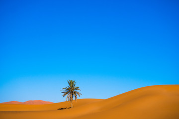 One palm tree in the desert with sand dunes and blue sky in the background