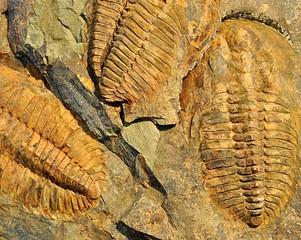 Photo sur Toile Les Textures prehistorical fossils trilobit