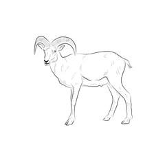Sketch of goat. Handmade.