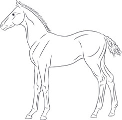 A line sketch of a newborn foal.