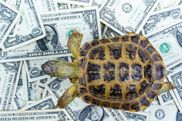 turtle on background of banknotes of dollars