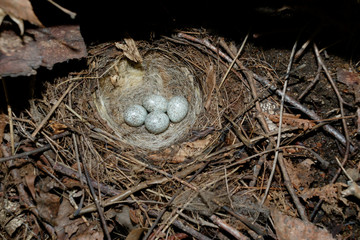 Motacilla alba. The nest of the White Wagtail in nature.