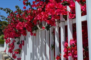Fototapeta Roslinność Majorki, czerwone kwiaty bugenwilli wystają zza białego parkanu obraz