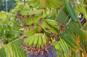 Banana tree in spring