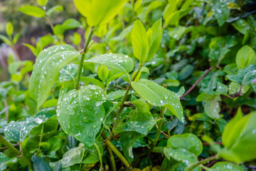 water droplet on dark green foliage, rain drop on leaf nature background