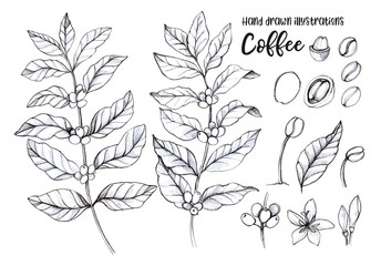 Hand drawn pencil illustrations. Coffee tree and coffee beans. Herbal plant in sketch style. Perfect for restaurant labels, invitations, cards, leaflets, menu etc