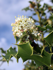 Holly Flower Against Blue Sky
