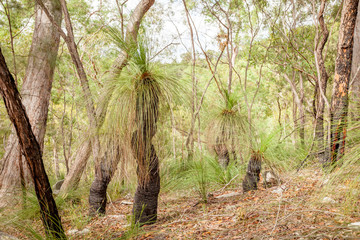 Black Boy Grass Tree Xanthorrhoea