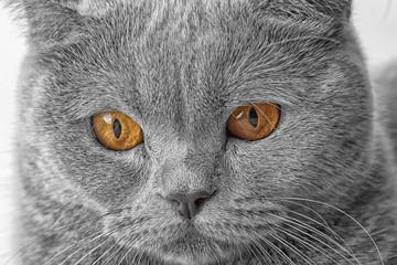 Muzzle of a beautiful British cat close up