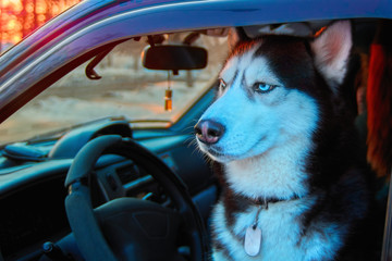 Beautiful Siberian husky sitting in car and looks at street. Noble dog with blue eyes sitting in the driver's seat of the car.