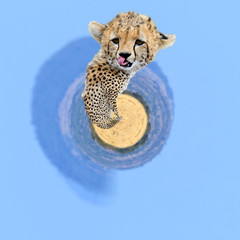 360 degree view of Wild african cheetah
