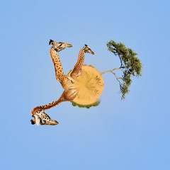 Wall Mural - 360 degree view of Giraffe in National park of Kenya