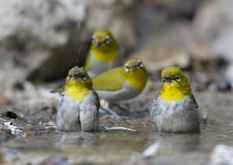 Flock of Oriental white-eye