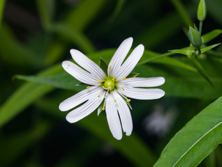 Flower Greater stitchwort or Stellaria holostea with bokeh background, macro, selective focus, shallow DOF