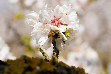 Ramillete flor de almendro con abeja